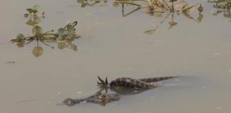 Timsah, anakondanın eline düştü! 40 dakikalık ölümcül mücadelede şaşırtan son