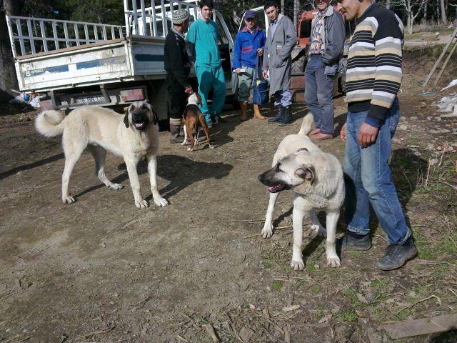 Kırklareli'de Av Köpeklerine Kuduz Aşısı Vurludu