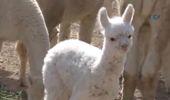 Türkiye'nin İlk Yavru Alpakası Doğdu