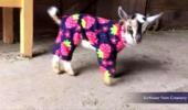 Baby Goats İn Pajamas Will Make You Scream For Joy