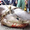 Karadeniz'de Balıkçıların Ağına Köpek Balığı Takıldı