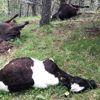 Yozgat'ta Yıldırım Düşmesi Sonucu 21 Hayvan Telef Oldu