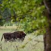 Avrupa'nın En Eski Ormanı Bialowieza'da Ağaç Kesmek Yasaklandı
