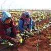 Soğuğa Dayanıklı Fasulye Tohumu Üretildi