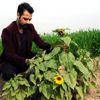 Osmaniye'de Ayçiçeği Erken Açtı