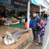 Kuzey Ege'de 4,5 Metrelik Köpek Balığı Yakalandı