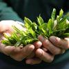 2018 Yılı Yaş Çay Alım Kampanyası Başladı