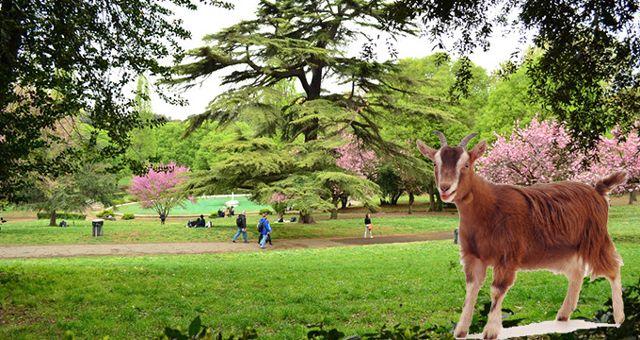 Roma'nın Bakımsız Kalan Parklarını Koyunlar ve Keçiler Temizleyecek