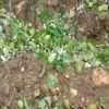 Malatya'da Kayısıyı Dolu Vurdu