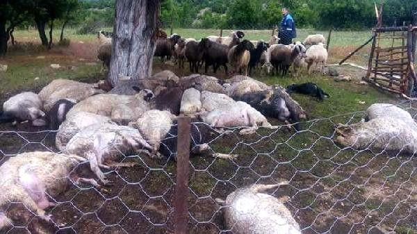 Mersin'de Yıldırım Düştü 32 Küçükbaş Hayvan Telef Oldu