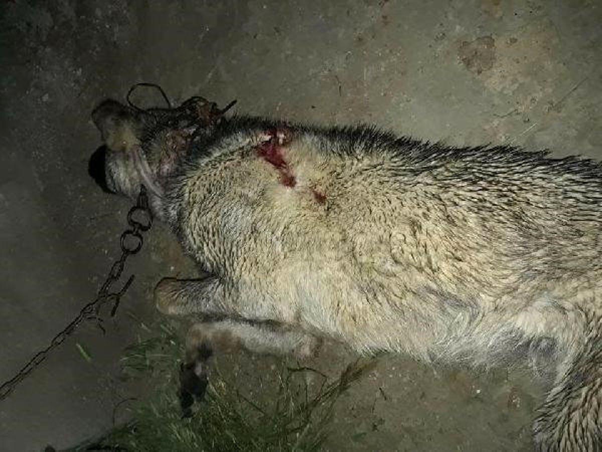 Gebe Çoban Köpeği Tüfekle Öldürüldü