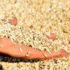 Buğdayın Atası