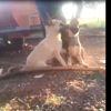 Diyarbakır'da Çoban Köpeklerini Dövüştürüp Görüntüleri Paylaştılar