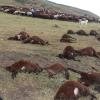 Sürüye Yıldırım Düşünce, 74 Koyun Telef Oldu