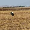 Çiftçi İçin Hasat, Leylekler İçin Av Zamanı