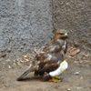 Bingöl'de Yaralı Tavşancıl Kuşu Tedavi Edildi