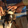 Gaziantep'te 5 Boynuzlu Koç İlgi Görüyor