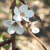 Mersin'de Erik Ağaçları Çiçek Açtı