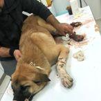 Adana'da Sokak Köpeklerine Tüfekli Saldırı
