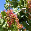 Çinliler Antep fıstığı ve kuru meyve için geliyor