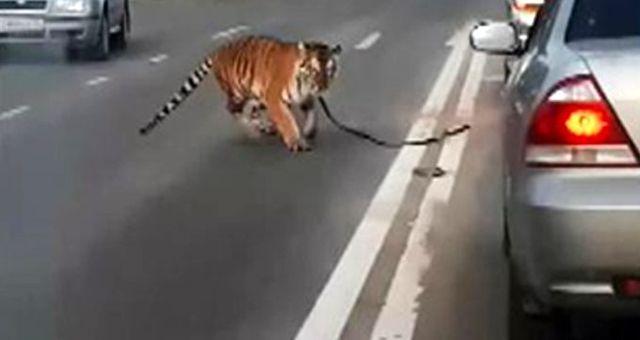 Eğitmeninden kaçan kaplan, seyir halindeki otomobilden yola atladı