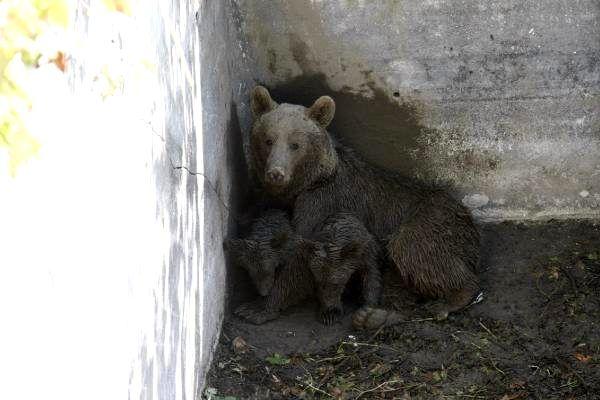 Mahsur kalan anne ayı ve iki yavrusu kurtarıldı/ Ek fotoğraflar