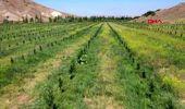 'Yetişmez' denilen Sivas'ta, 150 ton karpuz hasadı yapıldı