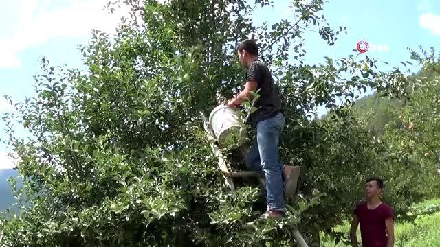 1600 rakımlı yaylasında elma hasadı başladı