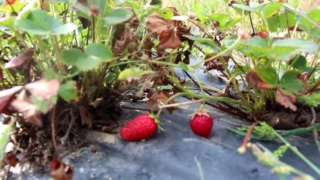 Oltu'da yılın son çilek hasadı