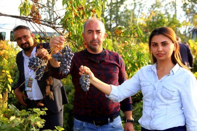 Erzincan'da üzümüyle meşhur ilçede bağbozumu yapıldı