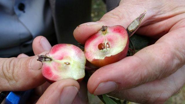 Posof'un içi dışı kırmızı elması tescillendi