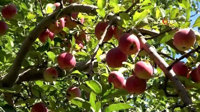 Niğde'de elma hasadı yapılıyor