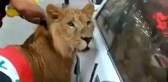 Irak'ta bir gösterici meydana aslanla indi! Sosyal medya çalkalandı