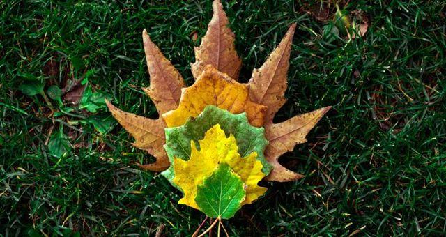 Çınar ağacı özellikleri neler? Çınar yaprağı anlamı nedir?