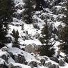 Akseki'de dağ keçileri görüldü