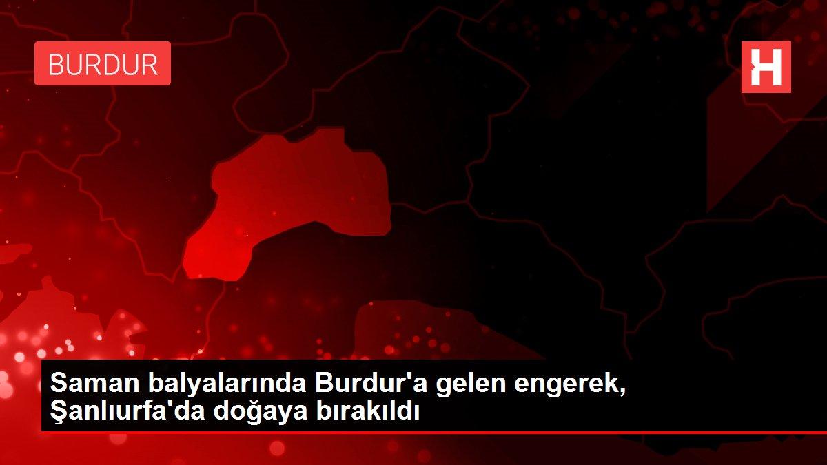 Saman balyalarında Burdur'a gelen engerek, Şanlıurfa'da doğaya bırakıldı