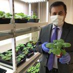 Yeşil bitki ile koronavirüs aşısı çalışması