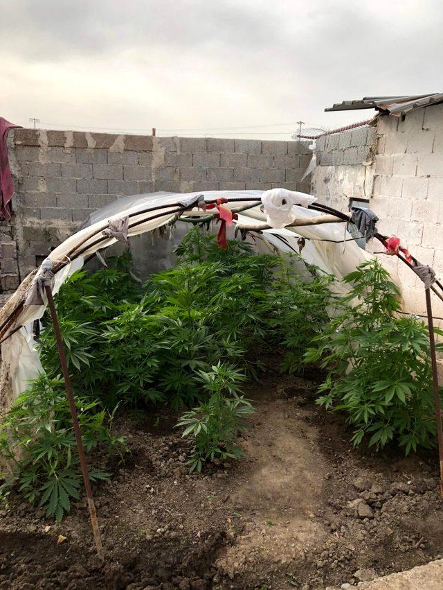 Adana'da bahçesinde Hint keneviri yetiştiren zanlı evden çıkamadığı için yetiştirdiğini söyledi