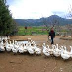 Otla mücadele için aldıkları civcivlerle kaz çiftliği kurdular