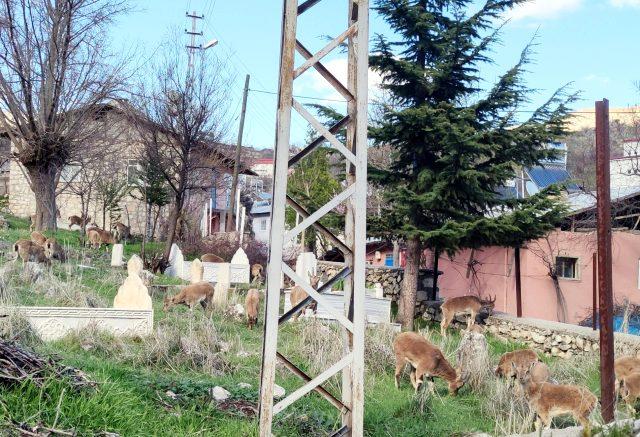 Tunceli Çemişgezek'te şehre inen yaban keçileri çatıya çıktı