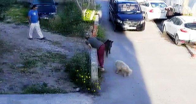 Virüs nedeniyle boş kalan sokaklara gündüz vakti domuzlar inmeye başladı