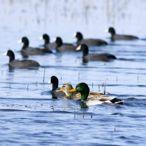 Karadeniz'de su kuşu sayımı