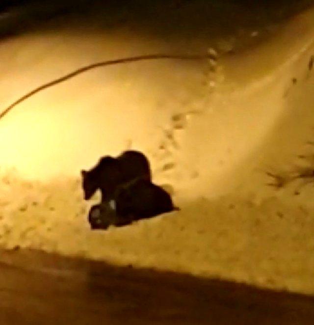Uludağ'da kış uykusundan uyanan ayılar yemek bulamayınca şehre indi