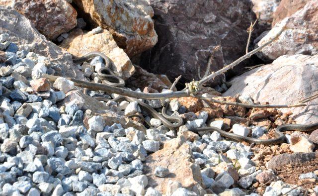 Yüksekova'da sürü halinde görülen yılanlar vatandaşları korkutuyor
