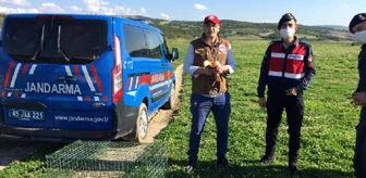 Kedi saldırısından kurtarılan Angut kuşları doğaya salındı