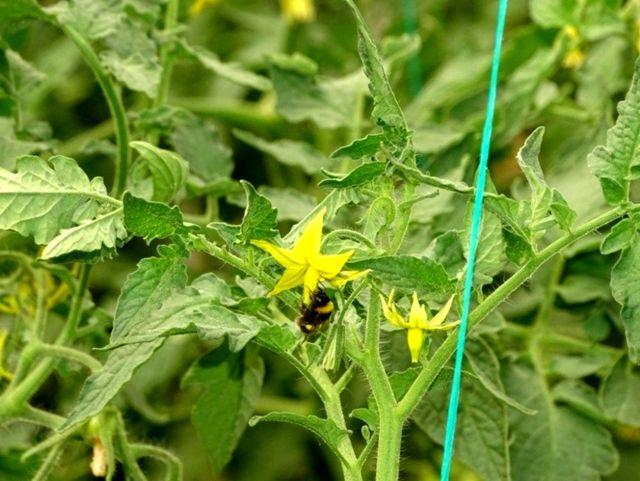 Bombus arılar kaliteli domates için kullanılacak