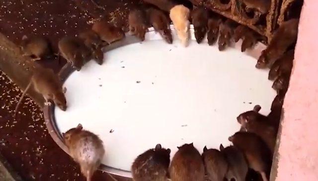 Hindistan'da farelerle birlikte ibadet edilen yer: Karni Mata Tapınağı