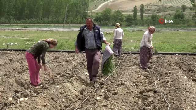 Termometrelerin 35 dereceyi gösterdiği Tokat'ta çiftçilerin zorlu mesaisi