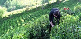 RİZE Çay göçü başlıyor; 50 bin üretici bu gece yola çıkıyor