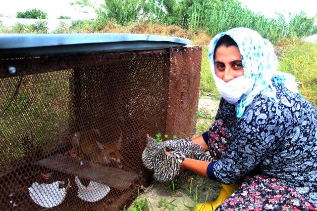 150 tavuğu telef eden tilki, 'Battal Gazi' taktiğiyle yakalandı